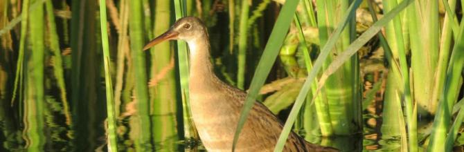 colorado river delta, yuma clapper rail, bird